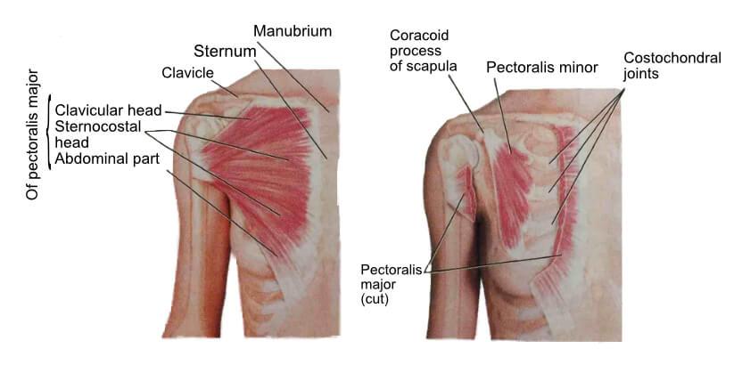 Chest Anatomy 1 | Chest Stretches