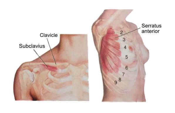 Chest Anatomy 2 | Chest Stretches