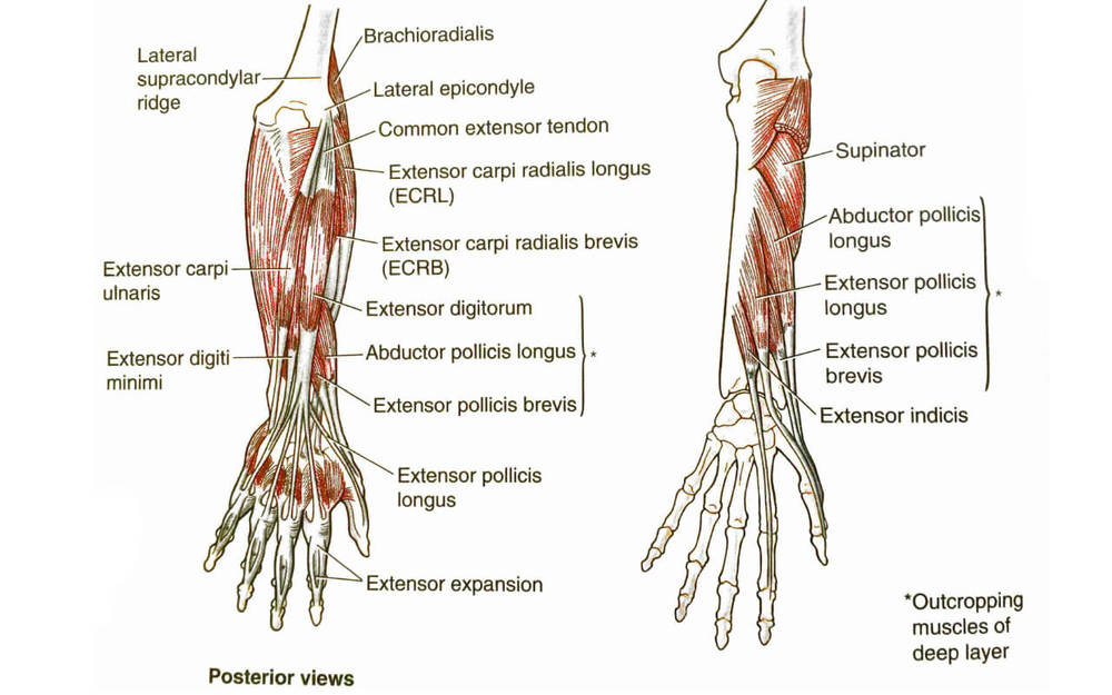 Forearm (extensors) | Forearm Stretches