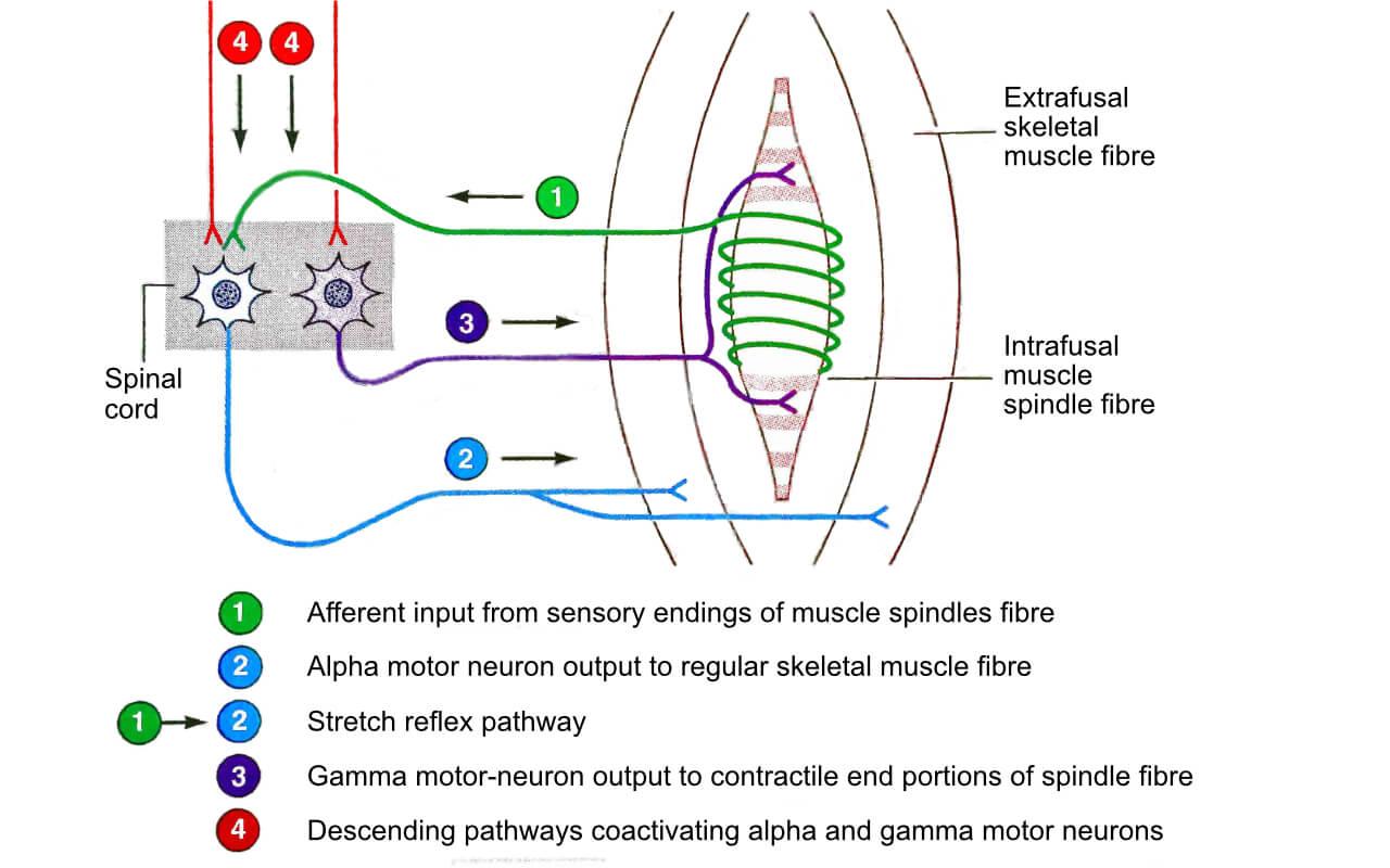 Stretch Reflex | Stretching Exercises